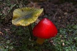 Tasmanian Fungi Entoloma & Hygrocybe