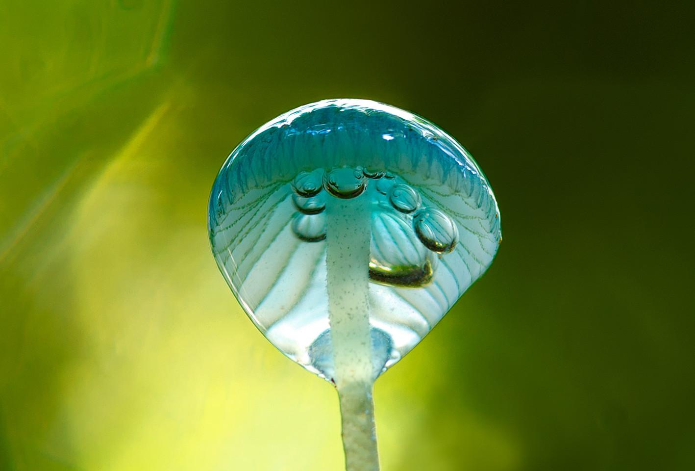 Blue Bubble Pixie - Mycena interrupta after the rain, Huon Valley, Tasmania.