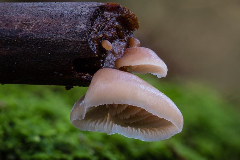 TasFungi - Lentinellus pulvinulus