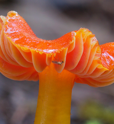 Hygrocybe sp. with a visiting insect.