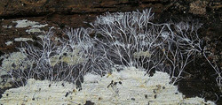 Tasmanian Fungi - Mycelium Magic
