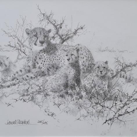 Cheetahs - Drawing 2005