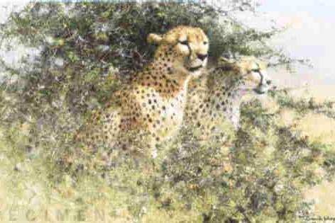 Cheetahs - 1989