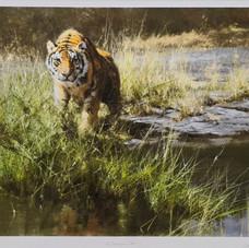 The Bandipur Tiger