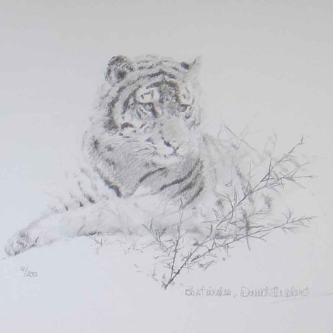 Portrait of a Tiger drawing
