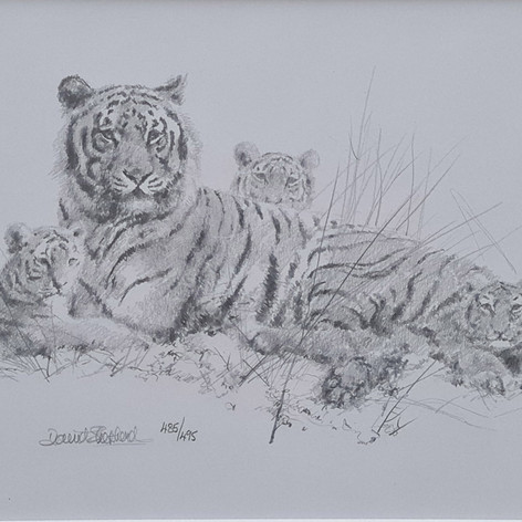 Tigers pencil sketch