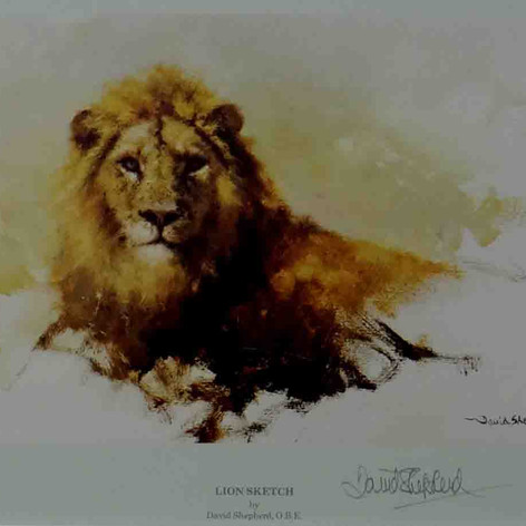 Lion sketch 1986