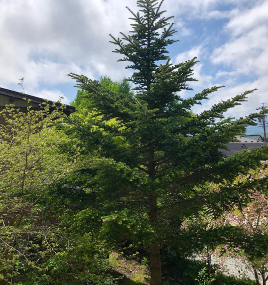 W 201 view pine IMG_2460.jpg