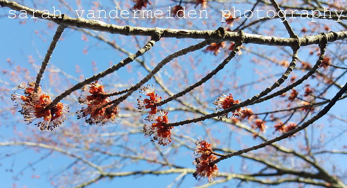 Maple Buds Marked_edited.jpg
