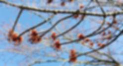 Maple Buds Marked.jpg