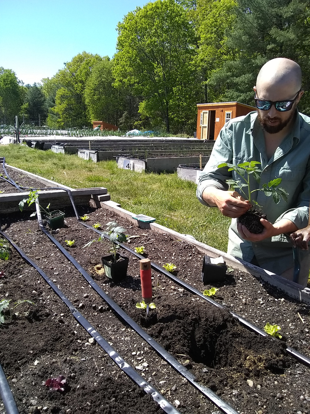 Charles River Center Horticulture Coordinator Mike Bolio plants tomatoes.