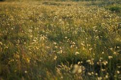 GoldeneWiese