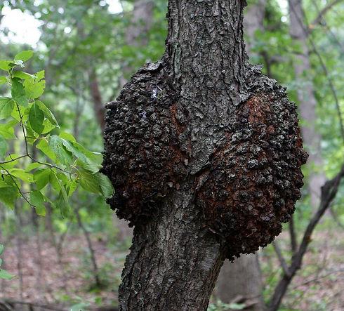 Black knot-tree-care-nj.jpg