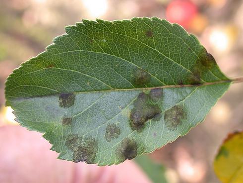 Apple-scab-disease-tree-care-nj.png
