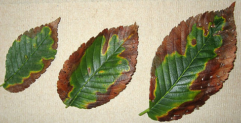 Leaf-Scorch-NJ-TREE-CARE-DISEASES.jpg