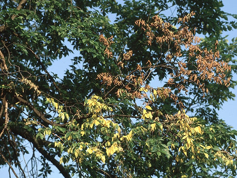 Dutch-Elm-Disease-nj-tree-care.jpg