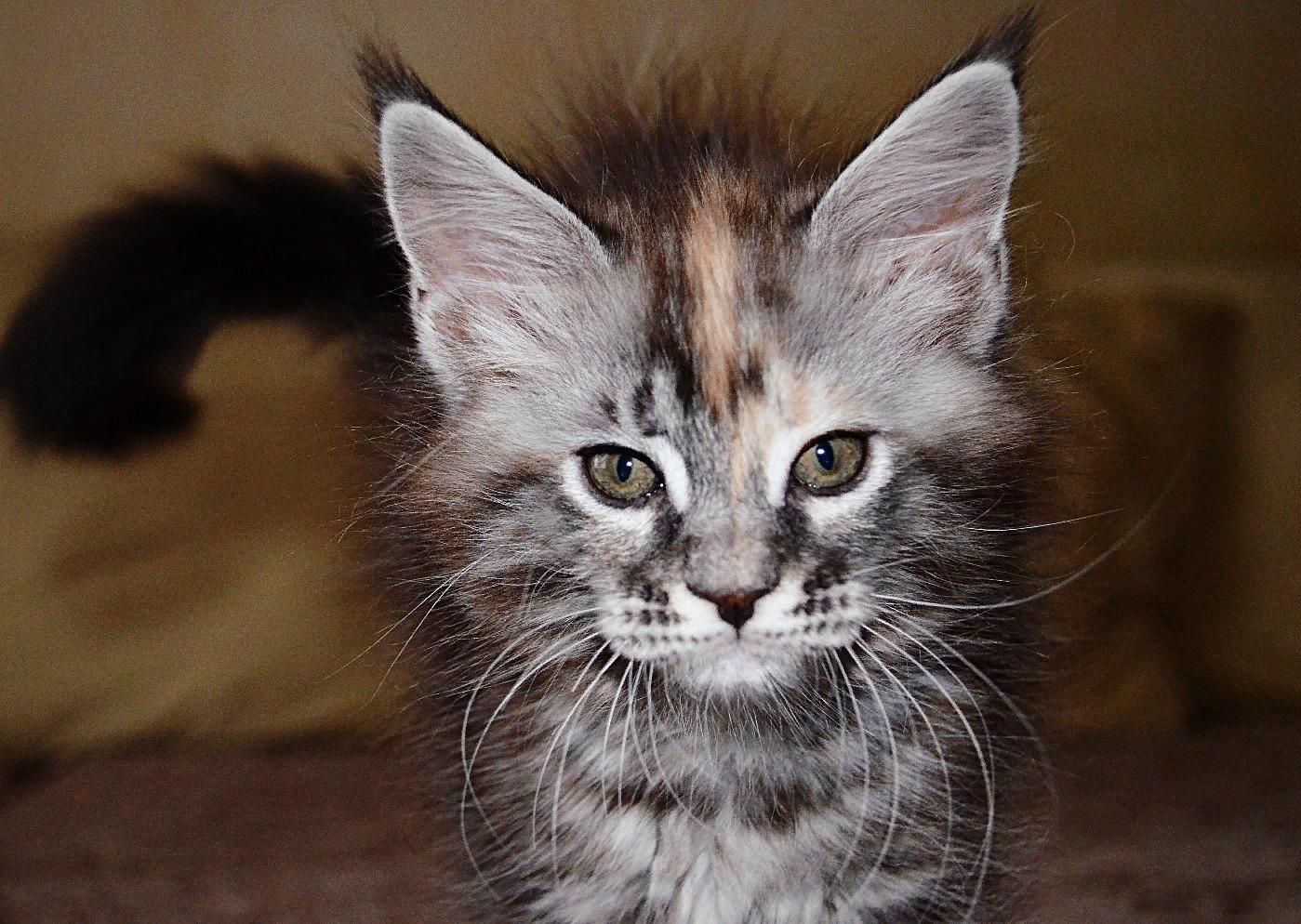 Купить котенка мейнкун