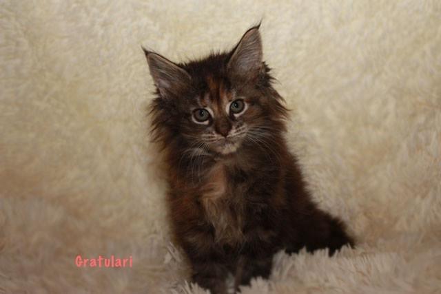 котенок Мейнкун черепахово-мраморный