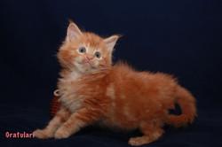 Котенок Мейн кун красно-мраморный