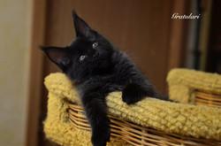 котенок мейн кун