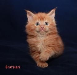 Мейн кун котенок красно-мраморный