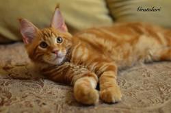 котенок мейн кун-15-21-34-5
