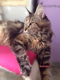 Кошка Мейн кун черепахово-мраморный