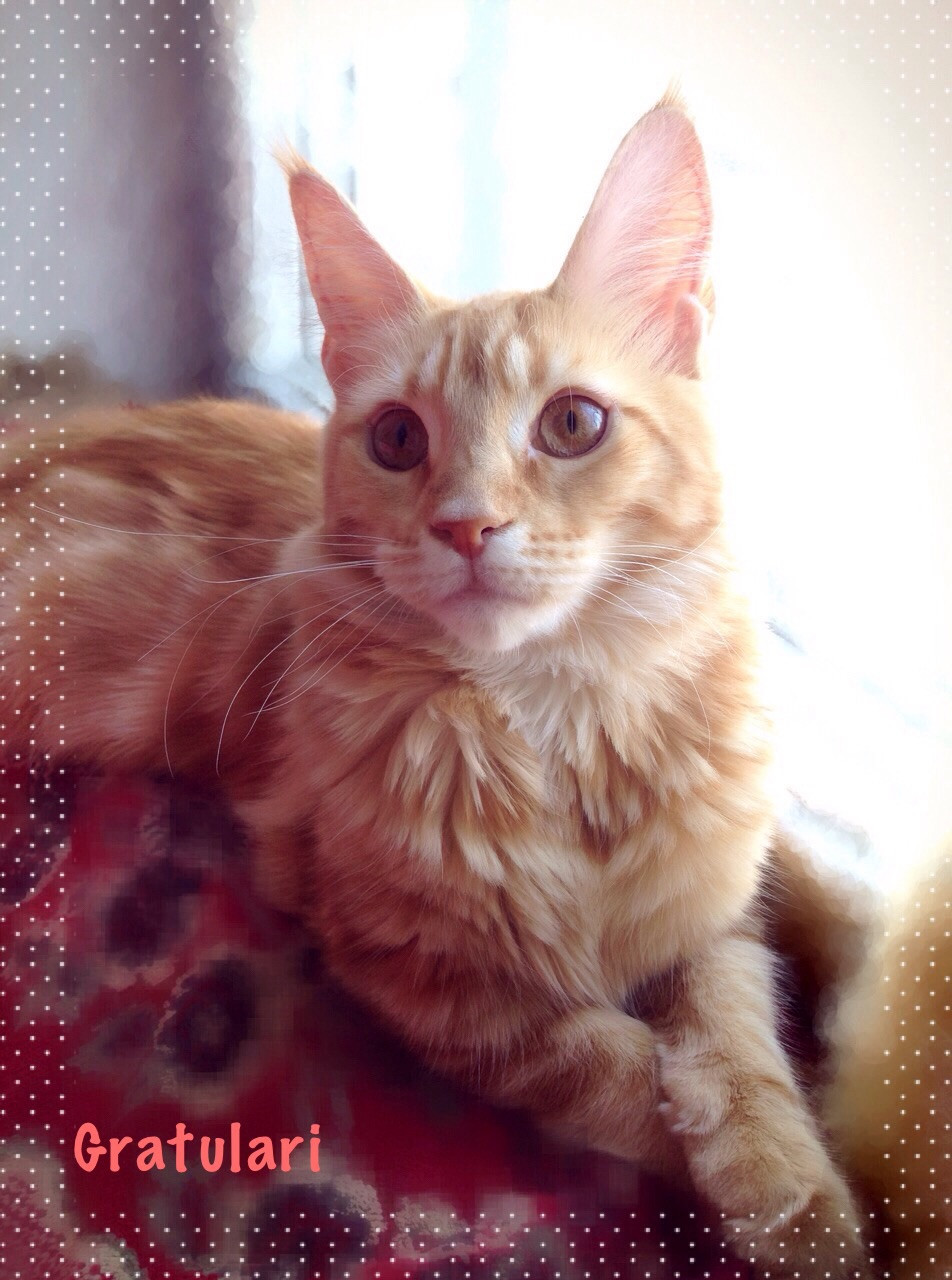 Кошка мейн кун красно-мраморный окра
