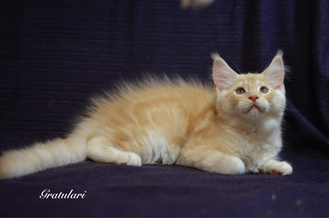 купить котенка мейн кун_6338