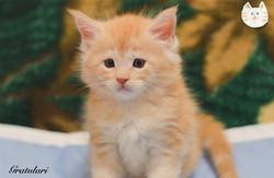 Купить котенка мейн куненок мейн кун
