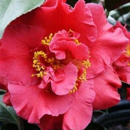 Camellia 'Dr. JC Raulston