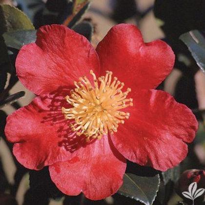 Camellia 'Yuletide