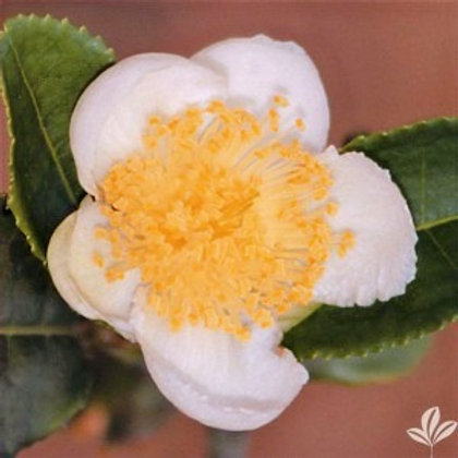 Camellia- Large Leaf Tea