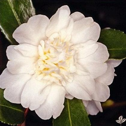 Camellia 'Mine-No-Yuki'