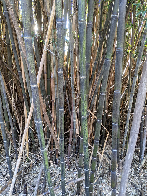 Potted up Black Bamboo 5-7 Gallon Size