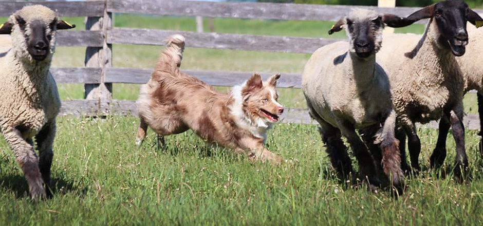Leo herding.jpg