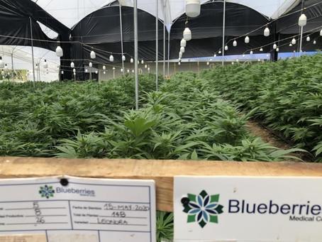 BRAGARD fue pionero en el asesoramiento legal a una empresa uruguaya dedicada al cannabis