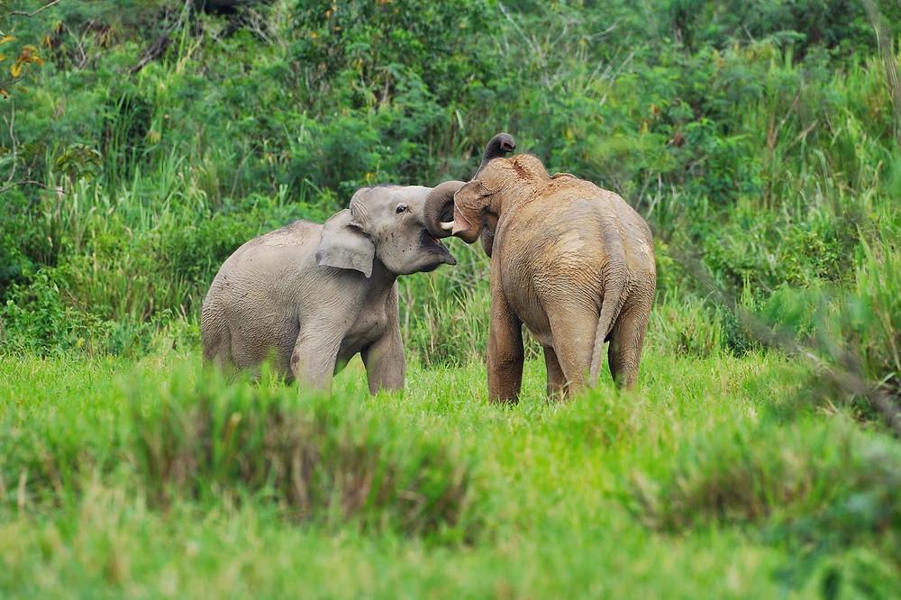 ช้างป่ากุยบุรี