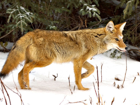 Please, Don't Feed the Coyotes