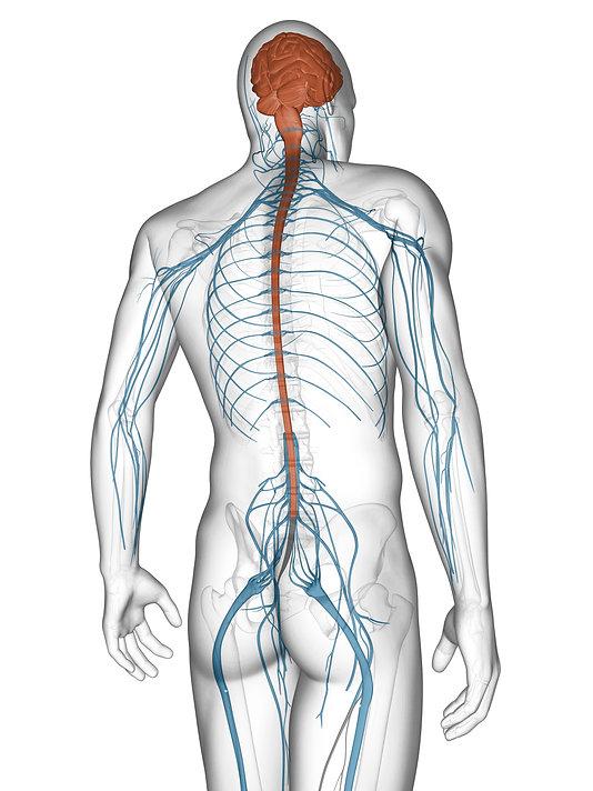 Representative picture of a Human body