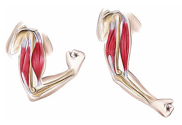Arm Flexion, Extension
