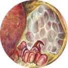 pomegranate, science illustration, sketchbook