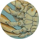 pugettia producta, kelp crab, science illustration, zoological illustration