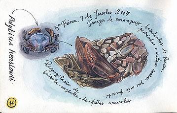 Polybius henslowii, Berlenga Island