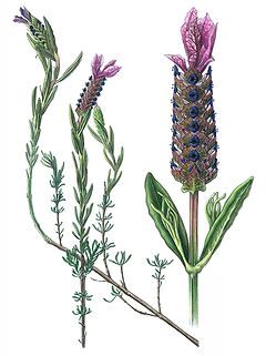 Lavandula luisieri, Lavender