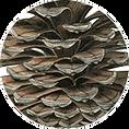 pinus pinaster, pinha pinheiro bravo, ilustracao cientifica, ilustracao botanica
