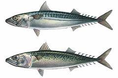 Scomber scombrus, Scomber japonicus, Atlantic Mackerel, Pacific Mackerel