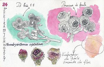 Mesembryanthemum crystallinum, Berlenga Island