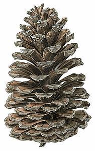 Pinus pinaster, Maritime Pine