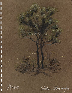 Oliva europea, Olive Tree,  Ria Formosa
